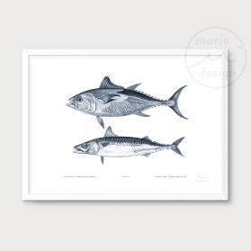 Illustration - Tonfisk och makrill