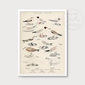 Illustration - Måsfåglar nr. 1