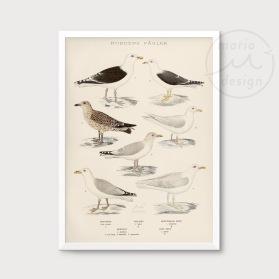 Illustration - Måsfåglar nr. 2