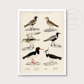 Illustration - Strandfåglar