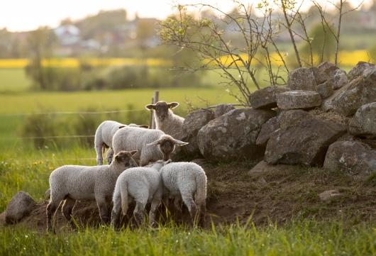 Lyckliga, frigående lamm hos oss på Ringsås Lamm i Falkenberg, Halland