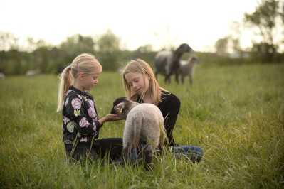 Ringsås Lamm Falkenberg, småskalig fårfarm med frigående lamm Halland