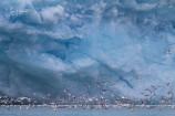 2H. Vittrut & tretåig mås vid glaciär (Svalbard)