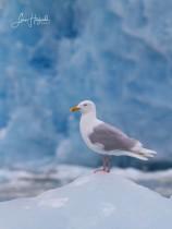 2J. Vittrut (Svalbard)