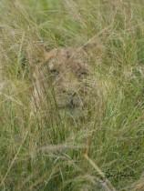 3H. Kamouflage (Lejonhona, Sydafrika)