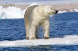 3B. Isbjörn (Svalbard)