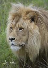 3F. Lejonhannen (Sydafrika)