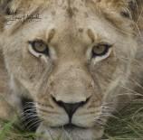 3G. Lejoninnan (Sydafrika)