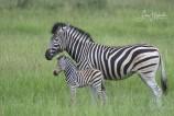 3L. Zebra med föl (Sydafrika)