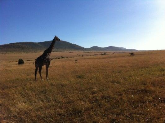 En av många vackra giraffer