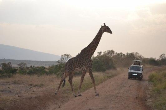 Fler giraffer...
