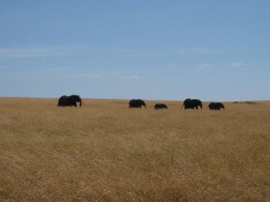 En elefantfamilj kommer gående i det vajjande gräset..