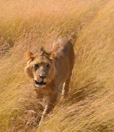 Mer lejon...
