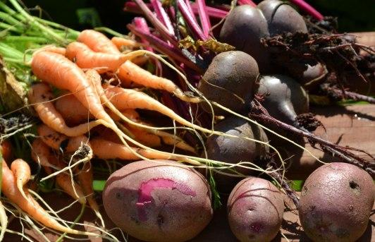 Mina egna morötter, rödbetor och potatisen...