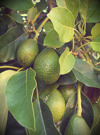 Avokadosmör