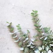 Eukalyptushydrolat / Eucalyptushydrolat