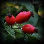 Nyponfrukter