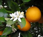 Apelsinblomshydrolat