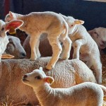 Klättrande lamm