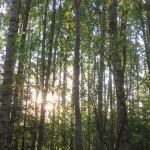 Trädsus