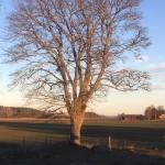 Träd_hage