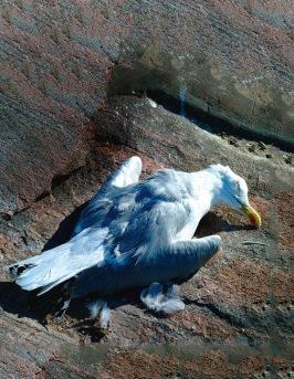 Runt  millennieskiftet  började  det komma  rapporter om kolonihäckande sjöfåglar och andra som dog i förlamning mitt under häckningen utefter Östersjökusten. Gråtrutar, havstrutar, krickor och gravänder är några exempel på drabbade arter.