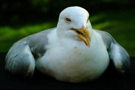 Tiamibrist orsakar oförmåga att fälla in vingarna