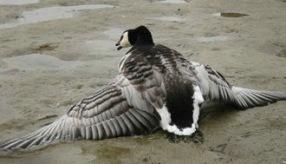 """Typiska tecken på tiaminbrist hos stora fåglar. förmåga att hålla vingarna tätt intill kroppen vid vila: """"hängande vingar"""", Förlorad flygförmåga, Förlorad aptit, Total förlamning av vingar och ben. Förlust av styrkan i näbben. Diarré, Kramper, konvulsioner och förlust av muskelkoordinationen, Medvetslöshet, död"""