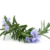 Scalp Treatment Rosemary