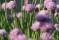 Gräslökens blommor