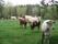 Kor med kalvar