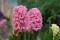 Bild hyacint 2
