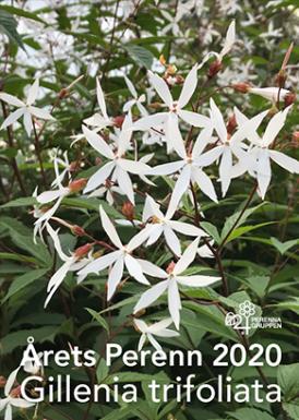 Årets perenn, Trebladsspira, Gillenia trifoliata
