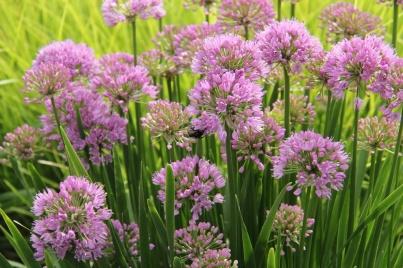 Årets perenn, Trädgårdskantlök, Allium Millenium