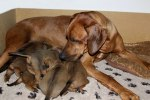 Safir with her puppies
