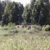 Kossorna i skogen