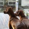 Safir och Tolouse väntar på husse