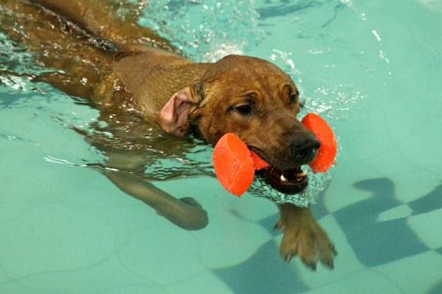 Vilho swimming around with a toy in his mouth