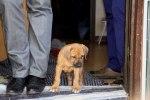 Caspian Puppy 010