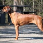 Ridgedogs LoveAtFirstSight Daia 13 months
