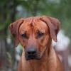 Ridgedogs LoveAtFirstSight DEXTER 15 months