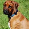 Ridgedogs MadeWithLove Mazhar 13 weeks b