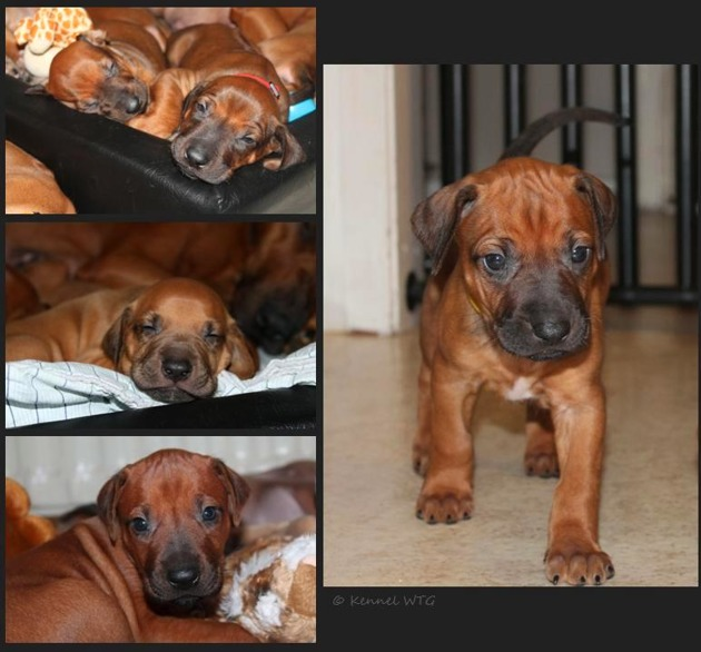 Some of the puppies pic at 4 weeks