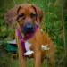 Ridgedogs MadeWithLove Mazhar 13 weeks d