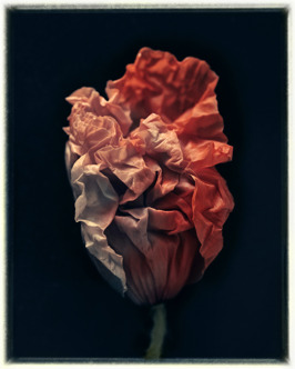 Poppy IV, 70 x 56 cm, edition of 35