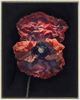 Poppy V, 70 x 56 cm, edition of 35