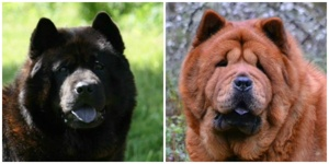 De stolta föräldrarna. Far: Commitment's Only The Brave och mor: Beleza's ChowChow Smooth Emilia