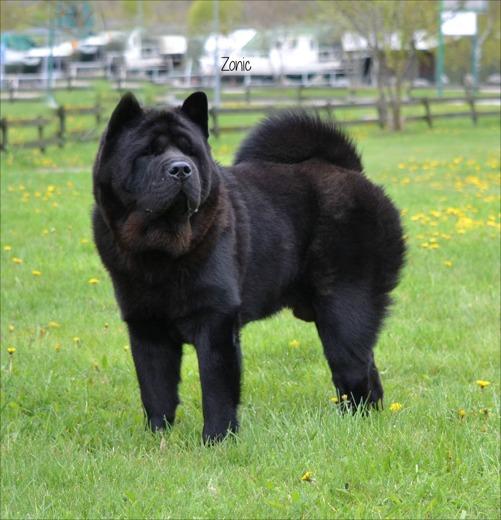 Zonic - en svart, korthårig hane som ägs av Martin Almström