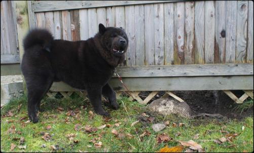 På andra sidan staketet så finns an svart herre vid namn Atticus som glömde att han får sitta på lina nu genom att han gräver sig ut, rymmer och jagar djur. Bad boy som Monica säger.