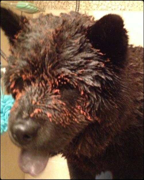 Så här såg Atticus ut efter att ha blivit sprayad av en skunk. Han luktade länge efter den bravaden.